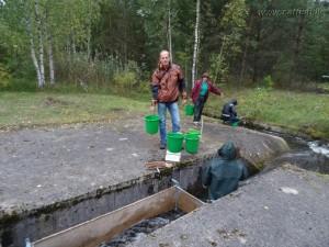 Сбор урожая сеголеток рыбца