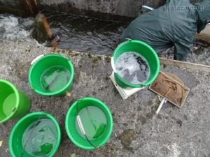Заготовили ведра для малька рыб
