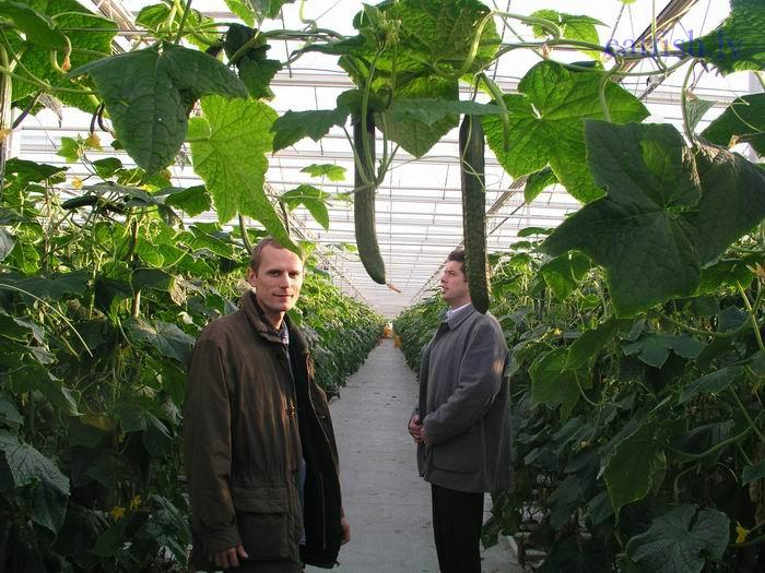 Выращивание огурцов в теплице по голландской технологии 33
