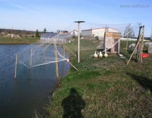 Эксперимент по выращиванию уток на пруду. Выращенные утки.