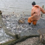 Сбор урожая рыбы в пруду при помощи невода
