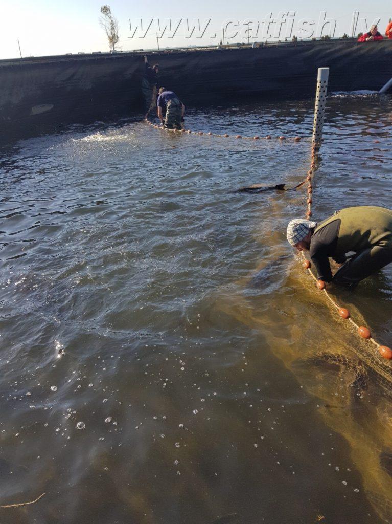 По мере вылова рыб, сеткой концентрируем оставшуюся рыбу