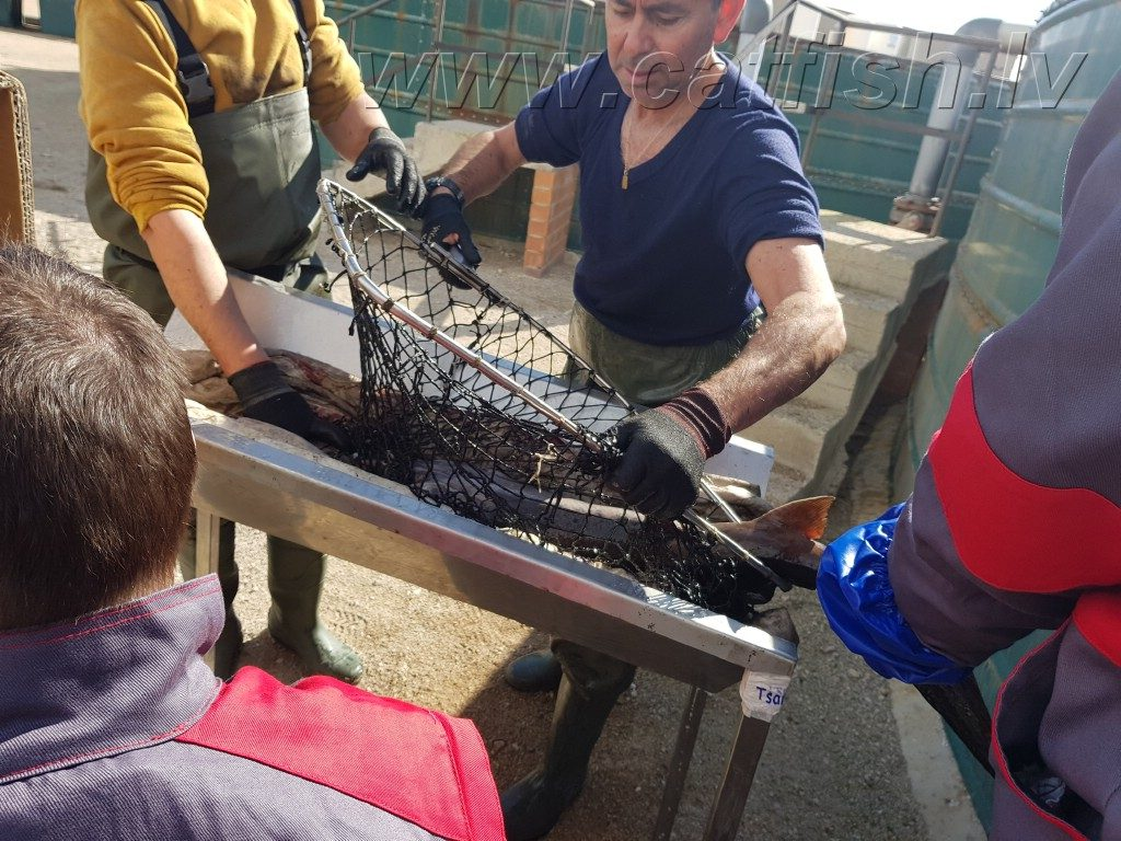 Местные рыбоводы не успевали подносить осетров для Узирования